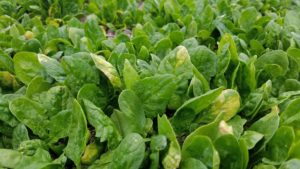 A Preliminary Evaluation of Using Drip Irrigation in Organic Spinach Production