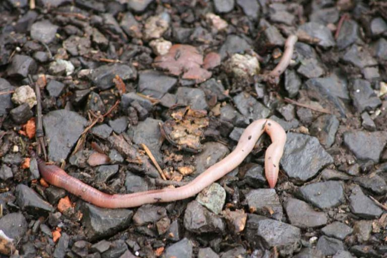Earthworms – the Good, the Bad and the Hungry
