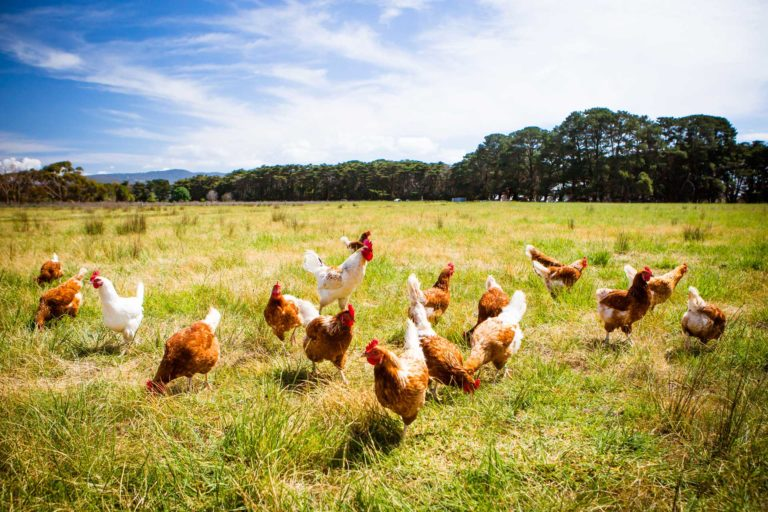 Organic Poultry Production for Meat and Eggs
