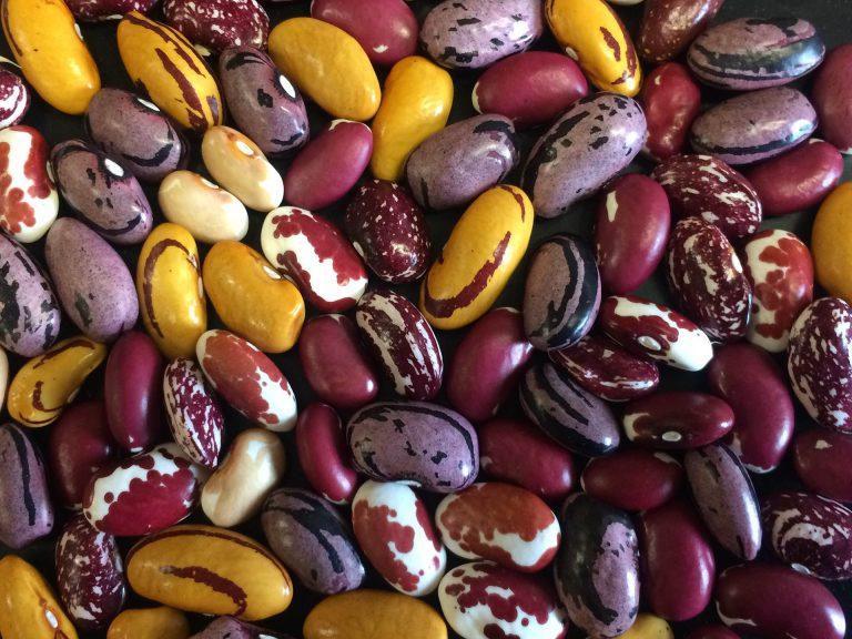 UC Davis Students Breed New Bean Varieties for Organic Farming