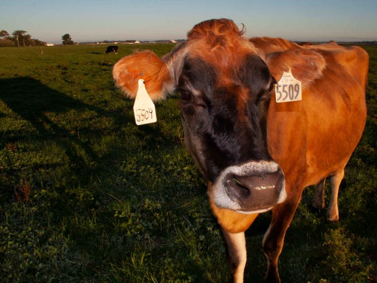 Organic Dairy: Economics Opportunities and Challenges with a Focus on California