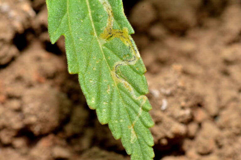 Pests in Hemp